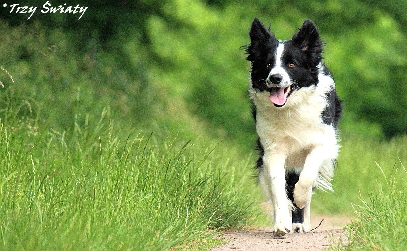 border collie slider 1